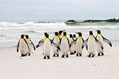 Pinguini di re che camminano sulla spiaggia Immagini Stock Libere da Diritti