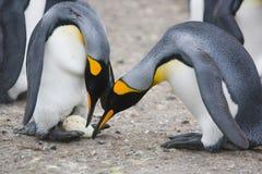 Pinguini di re che ispezionano uovo recentemente fatto Fotografia Stock