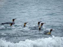 Pinguini di re che nuotano, Georgia del Sud Fotografie Stock