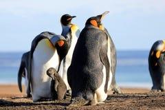 Pinguini di re con il pulcino, patagonicus dell'aptenodytes, Saunders, Falkland Islands Fotografie Stock Libere da Diritti