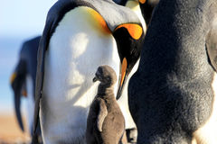 Pinguini di re con il pulcino, patagonicus dell'aptenodytes, Saunders, Falkland Islands Fotografia Stock