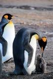 Pinguini di re con il pulcino, patagonicus dell'aptenodytes, Saunders, Falkland Islands Immagini Stock