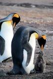 Pinguini di re con il pulcino, patagonicus dell'aptenodytes, Saunders, Falkland Islands Fotografia Stock Libera da Diritti