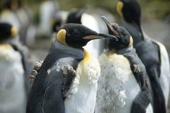 Pinguini di re del pulcino a punto volontario, Falkland Islands Fotografia Stock Libera da Diritti