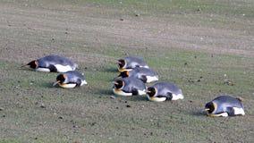 Pinguini di re del tavolato, patagonicus dell'aptenodytes, Saunders, Falkland Islands Fotografia Stock