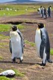 Pinguini di re delle coppie nella colonia Fotografia Stock Libera da Diritti