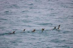Pinguini di re di nuoto Fotografie Stock Libere da Diritti