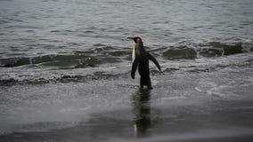 Pinguini di re a Georgia del Sud archivi video
