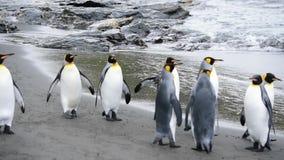 Pinguini di re a Georgia del Sud video d archivio