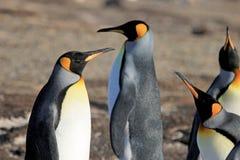 Pinguini di re, patagonicus dell'aptenodytes, Saunders, Falkland Islands Fotografia Stock Libera da Diritti