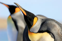 Pinguini di re, patagonicus dell'aptenodytes, Saunders, Falkland Islands Fotografia Stock
