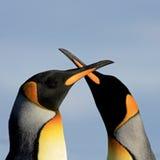 Pinguini di re, patagonicus dell'aptenodytes, Saunders, Falkland Islands Immagini Stock