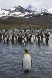 Pinguini di re su Georgia Island del sud Fotografia Stock Libera da Diritti