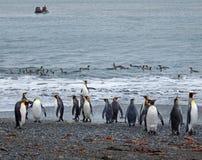 Pinguini di re sulla spiaggia con zodiaco Fotografia Stock