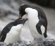 Pinguini di Rockhopper che preening Fotografia Stock