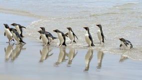 Pinguini di Rockhopper (chrysocome del Eudyptes) Immagini Stock