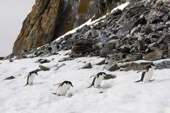 Pinguini di sottogola Fotografia Stock