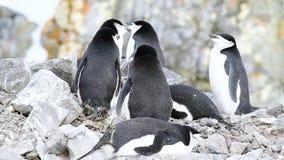 Pinguini di sottogola sul nido stock footage