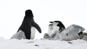 Pinguini di sottogola sul nido archivi video