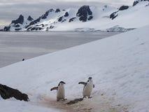 Pinguini di sottogola sull'isola di mezzaluna in Antartide Immagine Stock