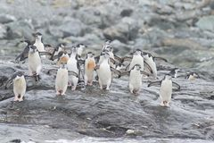 Pinguini di sottogola sulla spiaggia Fotografie Stock