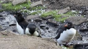 Pinguini Falkland Island di Rockhopper stock footage