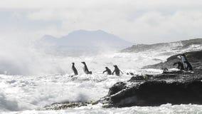 Pinguini Falkland Island di Rockhopper video d archivio