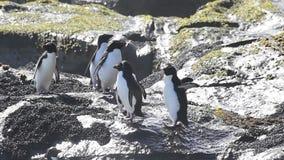 Pinguini Falkland Island di Rockhopper archivi video