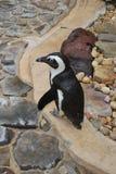 Pinguini Florida della costa di golfo della spiaggia Immagini Stock