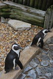 Pinguini Florida della costa di golfo della spiaggia Immagini Stock Libere da Diritti