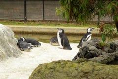 Pinguini in giardino zoologico Fotografia Stock Libera da Diritti