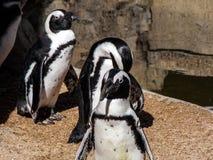 Pinguini a gioco fotografie stock