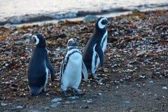 Pinguini in Magdalena Island immagini stock libere da diritti