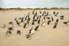 Pinguini - Magdalena Island - Cile fotografia stock