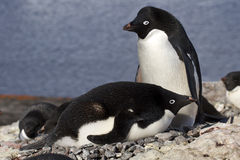 Pinguini maschii e femminili di Adelie al nido Immagini Stock Libere da Diritti