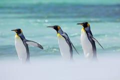 Pinguini nel mare Fauna selvatica dell'oceano Giorno soleggiato con il pinguino Un gruppo di quattro pinguini di re, patagonicus  Immagini Stock
