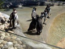 Pinguini nella prigionia Immagini Stock Libere da Diritti