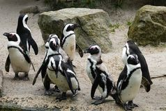 Pinguini Nero-pagati Immagini Stock Libere da Diritti