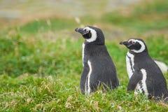Pinguini a Punta Arenas Immagini Stock Libere da Diritti