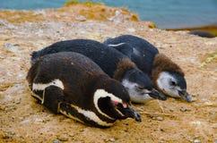 Pinguini a Punta Delgada in PenÃnsula Valdés Fotografia Stock