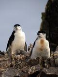 Pinguini selvaggi di sottogola in Antartide Fotografia Stock Libera da Diritti