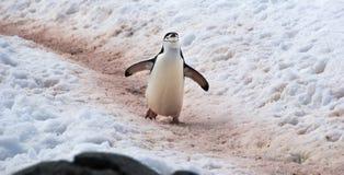 Pinguini selvaggi di sottogola in Antartide Fotografie Stock
