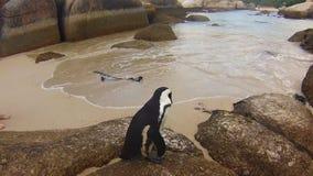 Pinguini in spiaggia di Boulder video d archivio