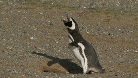 Pinguini su Magdalena Island Chile stock footage