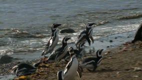 Pinguini su Magdalena Island Chile archivi video