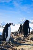 Pinguini su una roccia Immagini Stock Libere da Diritti