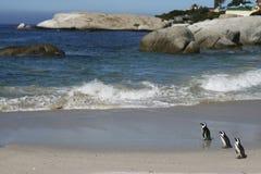 Pinguini su una spiaggia atlantica Fotografia Stock