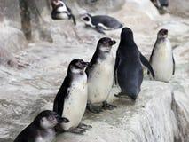 Pinguini sul ghiaccio della neve Immagini Stock
