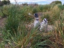 Pinguini sulla colonia di corvi del pinguino di Magellanic dell'isola di Martillo immagini stock