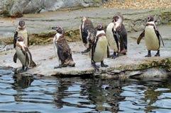 Pinguini sulla riva Immagini Stock Libere da Diritti